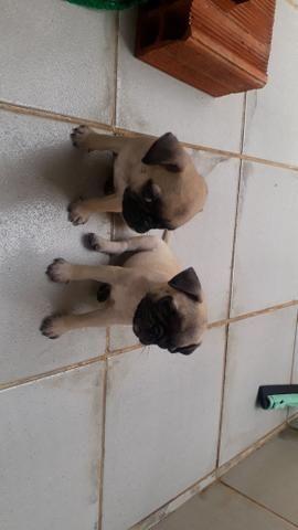 Filhotes de Pug macho - Foto 2