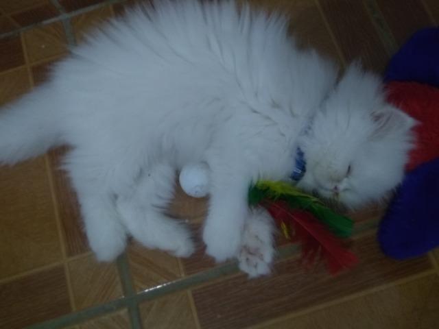 Gato Persa heterocromia - Foto 3
