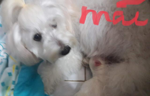 Filhotes de maltês - Foto 2