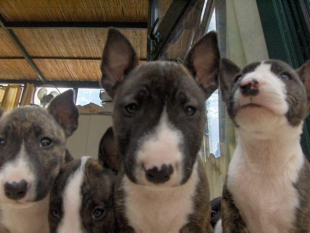 Bull Terrier Inglês vacinados e vermifugados com garantia total de saúde em contrato - Foto 3