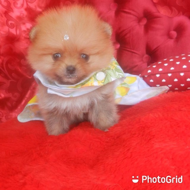 Feminha lulu da pomerania // Spitz alemã anã !!!! - Foto 3