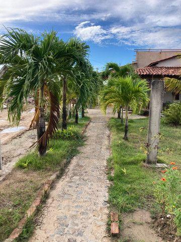 Mudas de palmeira indiana