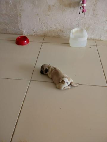 Filhote de Pug fêmea - Foto 2