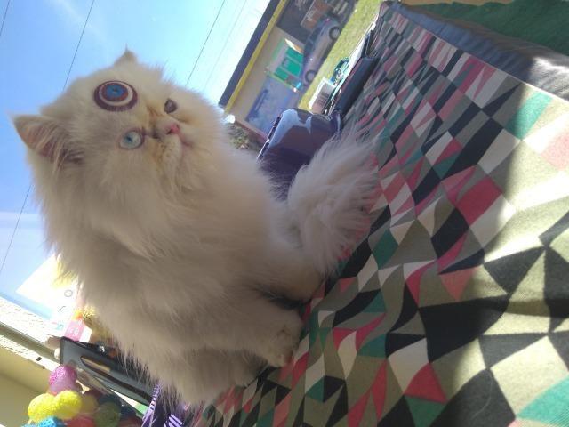 Gato Persa heterocromia
