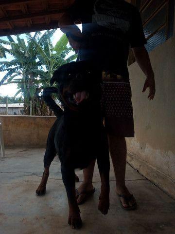 Filhotes de rottweiler registrado - Foto 2