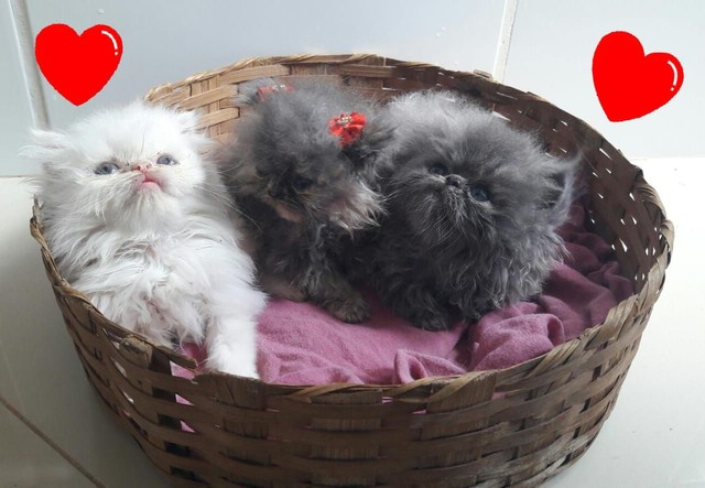Gatinhos persas Himalaia disponíveis para venda!!! - Foto 3