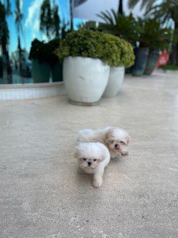 Cachorro Shitzu os dois por 1800 - Foto 4