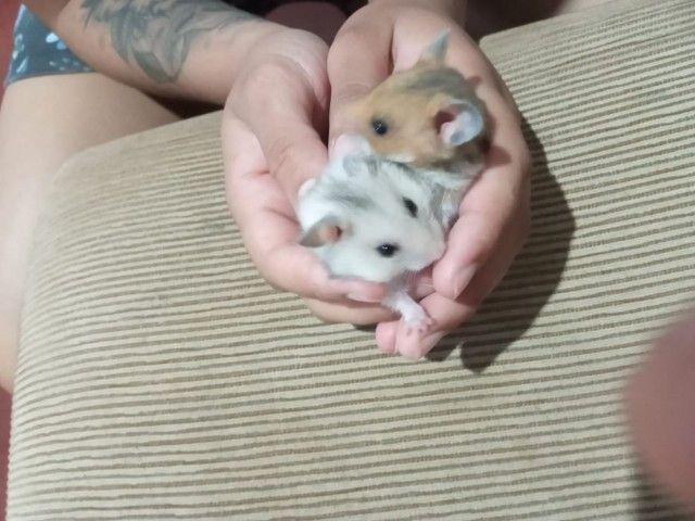 Vende se hamster  - Foto 3
