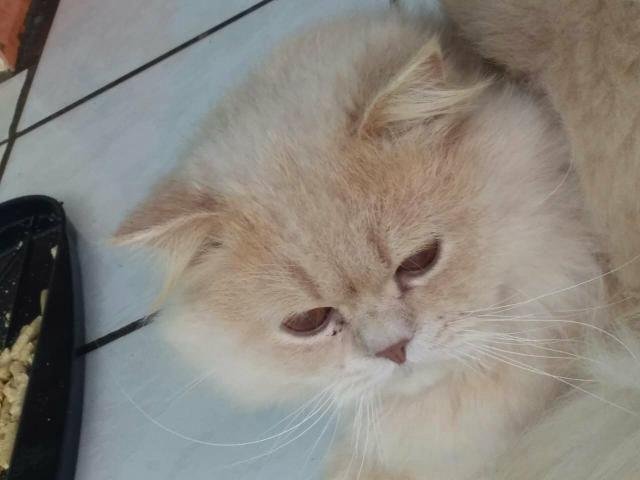 Vendo lindo gato persa