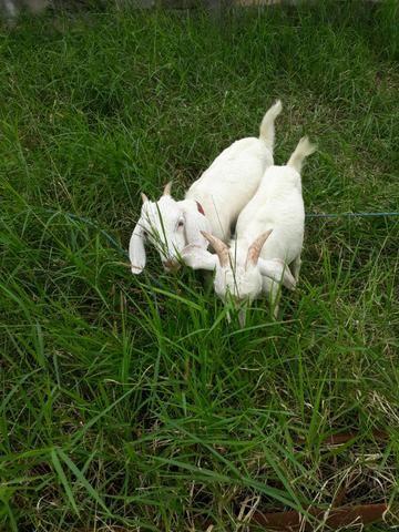 Cabras com sete pra oito meses