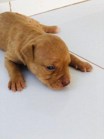 Cachorro PIT BULL MONSTER - Foto 5