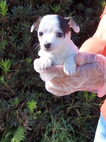 Chihuahua - Filhotes de Chihuahua em Oferta  - Foto 2