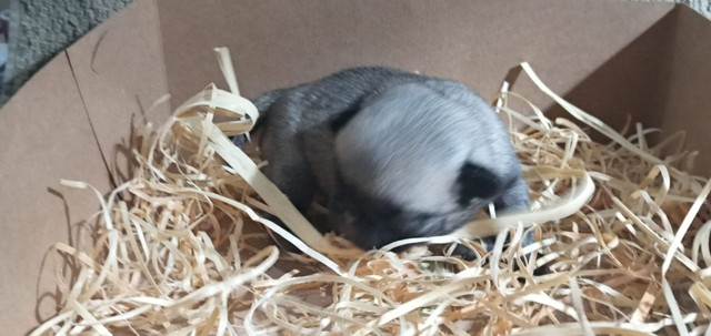 Pug micro filhote - Foto 5