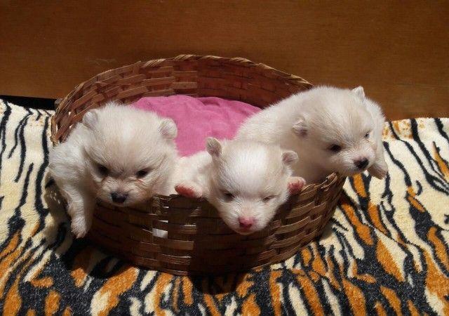 Filhotes de lulu da Pomerânia disponíveis para reserva!!! - Foto 2