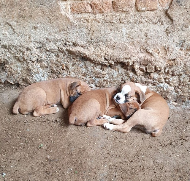 Filhotes Boxer femeas