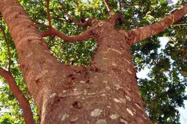 Pau-brasil ? Paubrasilia echinata (Vendo mudas) - Foto 2