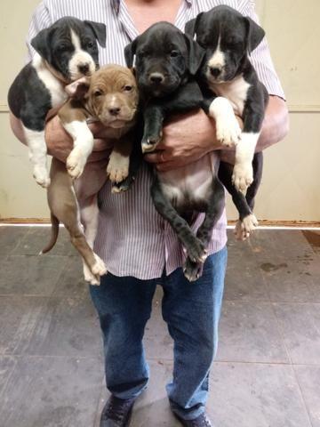 Vendo filhotes de PITBULL - Foto 5