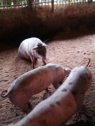Porcos caipiras/leitoaa - Foto 4