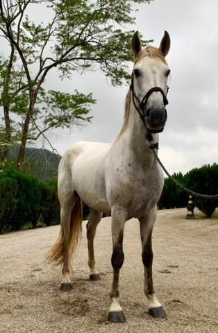 Mangalarga Marchador puro! Cavalo de presença, grande! Ideal para cavalgadas ou charrete!