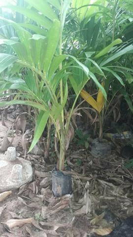 Palmeira a parti de 5,00 - Foto 4
