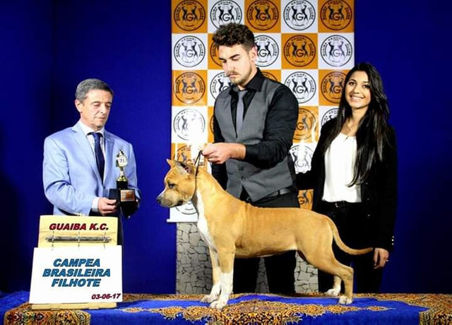 Invictos AST Kennel - American Staffordshire Terrier - Foto 4