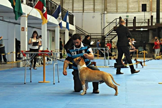 Invictos AST Kennel - American Staffordshire Terrier - Foto 3