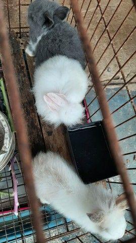 Coelhos mini lions  - Foto 2