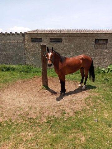 Venda De Cavalo Caramelo - Foto 3