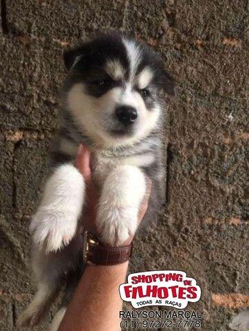 Husky Siberiano venha conhecer toda nossa estrutura, suportes e garantias - Foto 4
