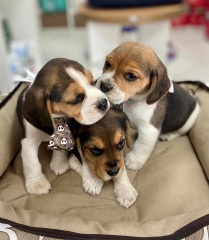 Filhotes Beagle disponíveis!! Microchipados