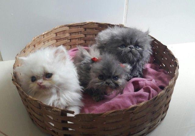 Gatinhos persas Himalaia disponíveis para venda!!! - Foto 4