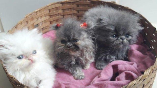 Gatinhos persas Himalaia disponíveis para venda!!! - Foto 2