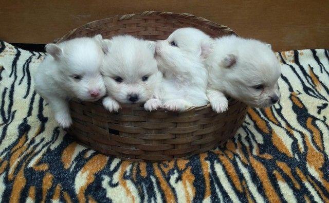 Filhotes de lulu da Pomerânia disponíveis para reserva!!!