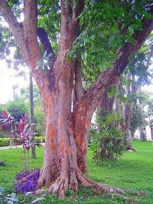 Pau-brasil ? Paubrasilia echinata (Vendo mudas)