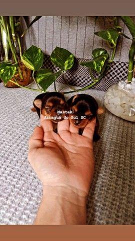 Último Yorkshire baby face micrinho 15 dias abriu olhinho - Foto 5
