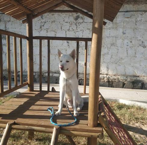 Husky pra cobertura - Foto 3