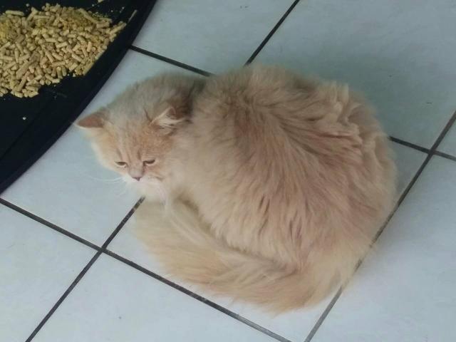 Vendo lindo gato persa - Foto 2