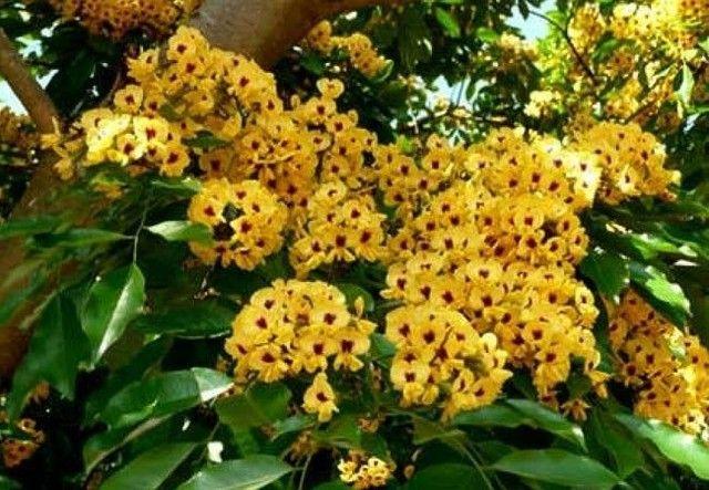 Pau-brasil ? Paubrasilia echinata (Vendo mudas) - Foto 4