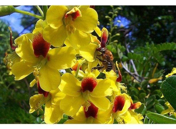 Pau-brasil ? Paubrasilia echinata (Vendo mudas) - Foto 5