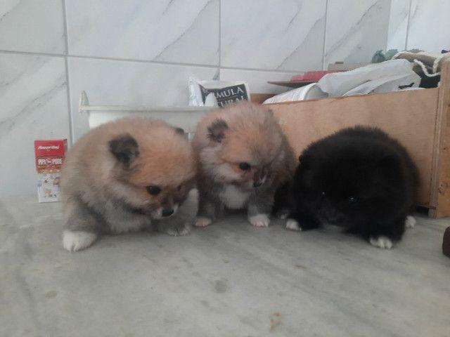 Lindos e perfeitos filhotes de lulú padrão anão ursinho raridade de encontrar  - Foto 3