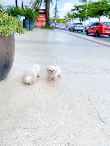 Cachorro Shitzu os dois por 1800 - Foto 3