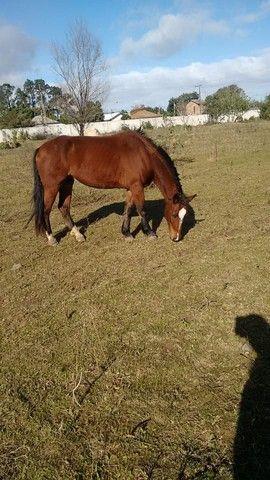 Venda De Cavalo Caramelo - Foto 4