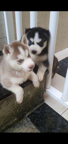 Filhotes de husky siberiano pronta entrega  - Foto 2