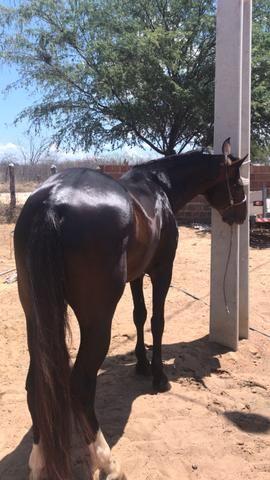 Cavalo mm vendo ou troco por qm - Foto 2
