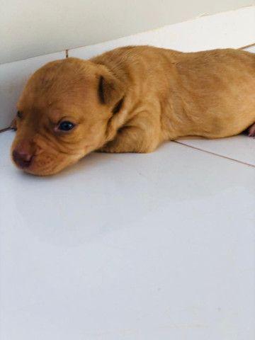 Cachorro PIT BULL MONSTER - Foto 4