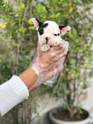 Bulldog Francês - Filhotes de Bulldog Francês em Oferta