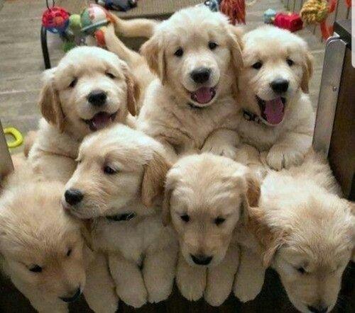 Lindos filhotes Golden disponíveis!!