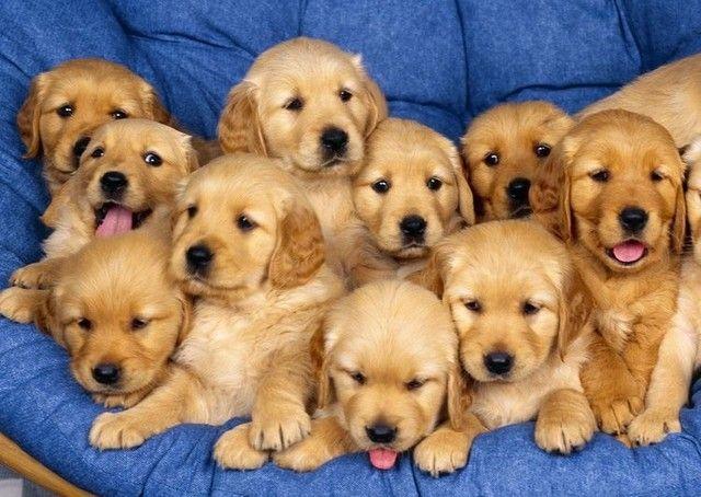 Filhotes de Golden Retriever