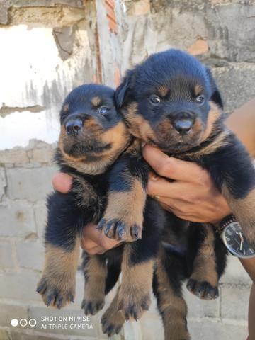 Rottweiler filhotes com 34 dias - Foto 2