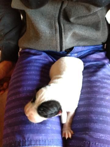 Boxer filhote fêmea - Foto 3